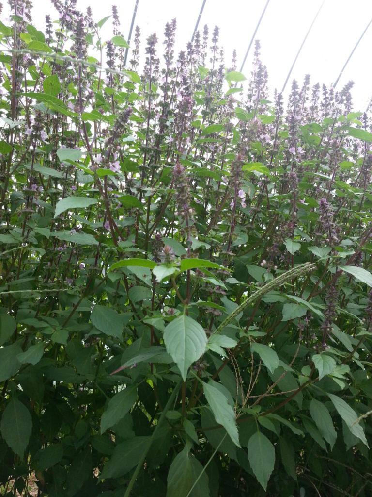 ホーリーバジル オオヤトゥルシー 2014 ハウス栽培